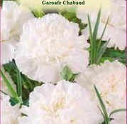 Seminte Garoafe Chabaud albe (Dianthus caryophyllus) 0.2 g