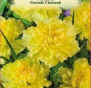 Seminte Garoafe Chabaud galbene (Dianthus caryophyllus) 0.2 g