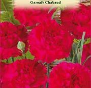 Seminte Garoafe Chabaud rosii (Dianthus caryophyllus) 0.2 g