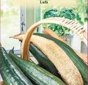 Seminte Lufa 1g