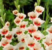 Bulbi de flori Gladiole Shocking 10 buc
