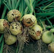 Seminte ceapa Sibir (BGS 204) F1 250.000 seminte