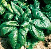 Seminte spanac Lagos F1 1 kg