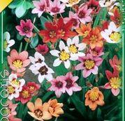 Bulbi de flori Sparaxis Tricolor Mixed 15buc