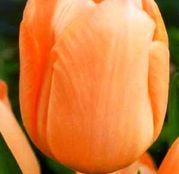 Bulbi de flori Lalea Apricot Beauty 10buc