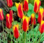 Bulbi de flori Lalea Clusiana var. Chrysantha 10buc