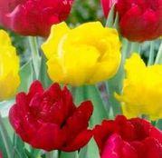 Bulbi de flori Lalea Duo Double Red & Yellow 10buc