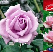 Butasi de trandafiri Teahibrid Sissi