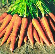 Seminte morcovi Kamaran F1 25.000 seminte
