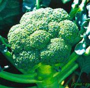 Seminte broccoli Belstar F1 1000 seminte