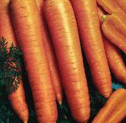 Seminte morcovi Napoli F1 25.000 seminte