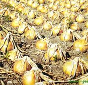 Seminte ceapa gigantica Exhibition F1 10.000 seminte