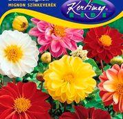 Seminte flori Dalia / Gherghina (Dahlia mignon/ variabilis) amestec de culori 1g
