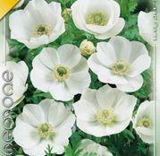 Bulbi Anemona de Caen Bride 10bulbi