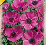 Bulbi Anemona de Caen Sylphide 10 bulbi