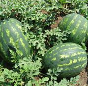 Seminte pepene verde Celine F1 1000 seminte