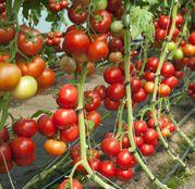 Seminte tomate (rosii) Doufu F1