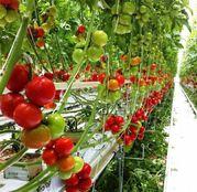 Seminte tomate (rosii) Endeavour F1 100seminte