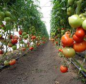 Seminte tomate (rosii) Mahitos F1