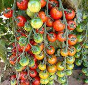Seminte tomate (rosii) Cheramy F1 100seminte