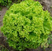 Seminte Salata Locarno F1 5000 seminte