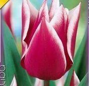 Bulbi de flori Lalele Claudia 10 buc