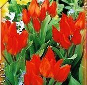 Bulbi de flori Lalele Praestans 10 buc