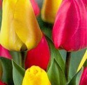 Bulbi de flori Lalele Duo Red & Yellow 10 buc