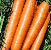 Seminte morcovi Tam Tam rasa 3 500 g
