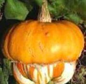 "Seminte Dovlecel ornamental ""turban"" (Cucurbita maxima)"