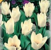 Bulbi de flori Lalele Concerto 10 buc
