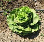 Seminte salata Justine 10 g