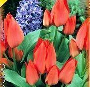 Bulbi de flori Lalele Toronto 10 buc