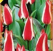 Bulbi de flori Lalele Pinocchio 10 buc