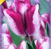 Bulbi de flori Lalele Hotpants 10buc