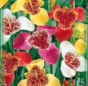 Bulbi de flori Tigridia Pavonia Mixed 10buc