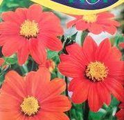 Seminte flori Titonia (Tithonia rotundifolia) Portocalii 1g
