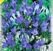 Bulbi de flori Triteleia Blue Queen Fabiola 15buc