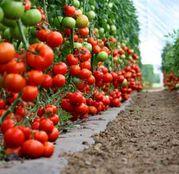 Seminte tomate (rosii) Diagramma F1 (500 sem.)
