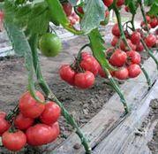 Seminte tomate (rosii) Griphon F1 (500 sem.)