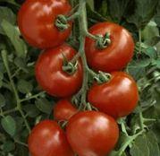 Seminte tomate (rosii) Menhir F1 (500 sem.)