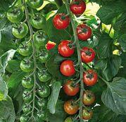 Seminte tomate (rosii) Tropical F1 (100 sem.)