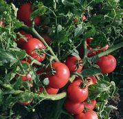 Seminte tomate (rosii) Sultan F1 5g