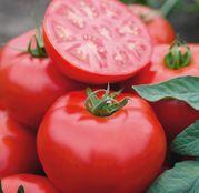 Seminte tomate (rosii) Tomsk F1 1000 seminte
