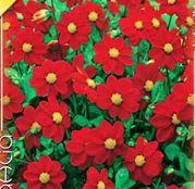 Bulbi de flori Dalia Topmix Red 1buc
