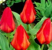 Bulbi de flori Lalea Princeps 10buc