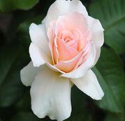 Butasi de trandafiri Teahibrid Vivaldi