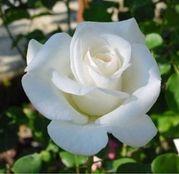 Butasi de trandafiri Teahibrid Virgo