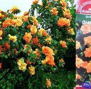 Butasi de trandafiri Urcatori Orange
