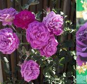 Butasi de trandafiri Urcatori Mov Othello